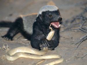 cobra-eating